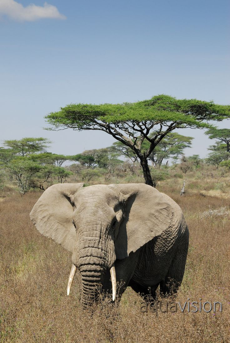 https://flic.kr/p/RT7ByC | AWG_20070613_0004.jpg | African Elephant (Loxodonta africana) in high grass with Acacia tortilis in background