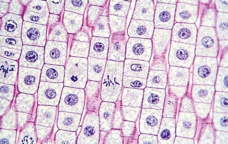 onion cell division lab report Cell division in the second part of the lab, you will prepare your own slides of onion root tips and examine the  bio 2 lab 9 mitosis_spr10[1]doc.