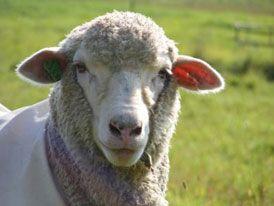 Cormo é uma raça de ovinos australianos desenvolvida na Tasmânia, com o cruzamento De ovelhas Corriedale com Merino. Foi exportada para Argentina, Itália, Bélgica, Estados Unidos, China. Os animais dessa raça têm crescimento rápido, tamanho médio e alta fertilidade.