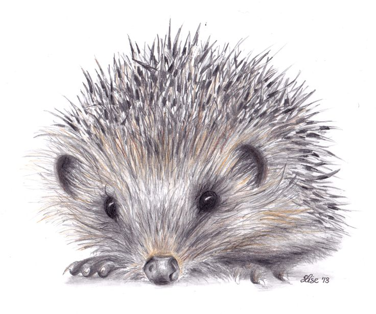 hedgehog drawing - Google Search
