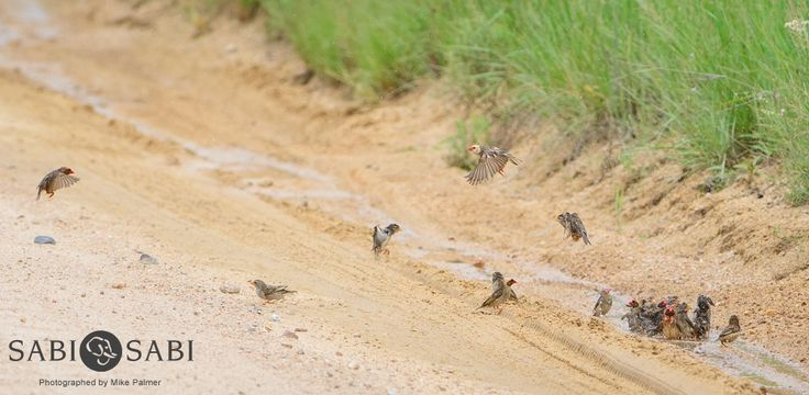 A vibrant flock of Red-billed Queleas taking some time in the afternoon to enjoy nice bath.