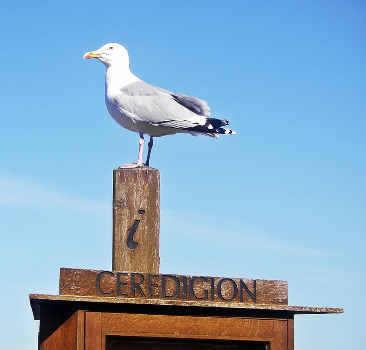 Seagull at New Quay, Wales