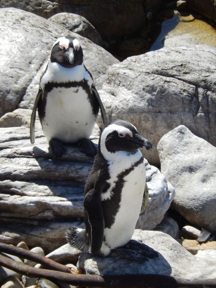 Penguins at Bettys Bay, southern cape.