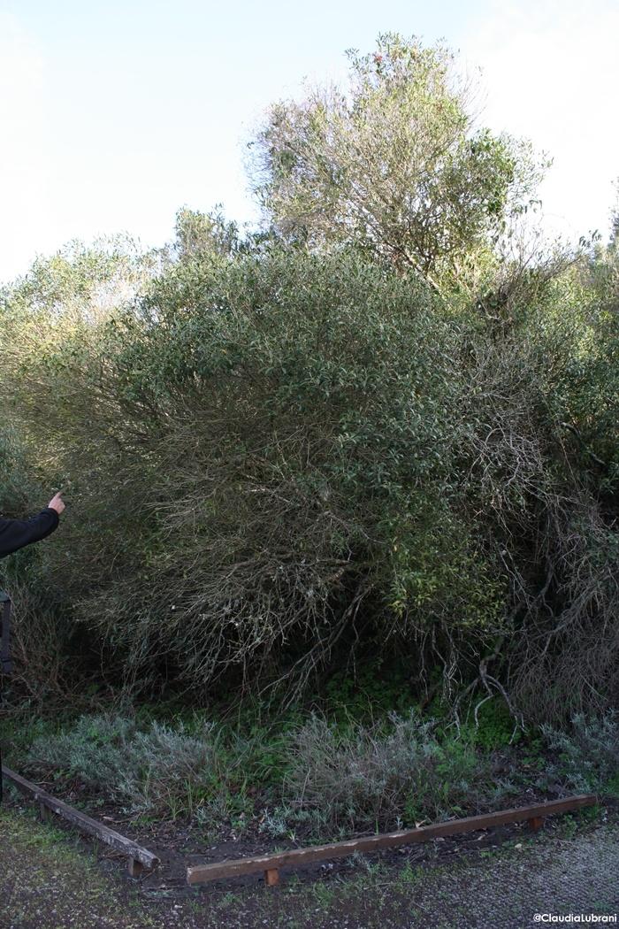 una pianta che ha 520 anni sul nostro cammino