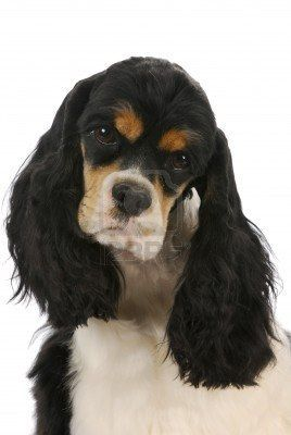 cocker spaniel tricolor tri color american cocker spaniels google search 7460