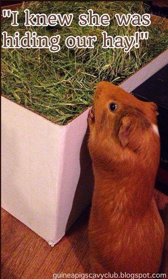Guinea pigs love hay!