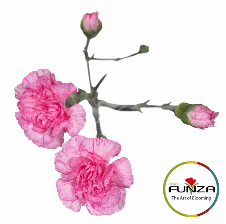 Bicolor Pink Spray Carnation from Flores Funza. Variety: Paranoia. Availability: Year-round.