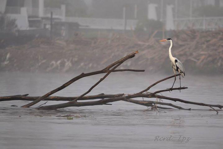 Ricardo de Virreyes: Garza Mora, en el río Luján (29/09/14, un día con un poco de neblina)