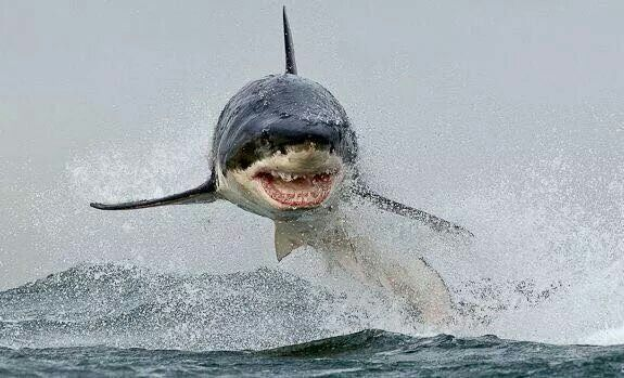 WHOAAAAA!!! That is one of the most terrifying and AWESOME pics of a breaching white shar…