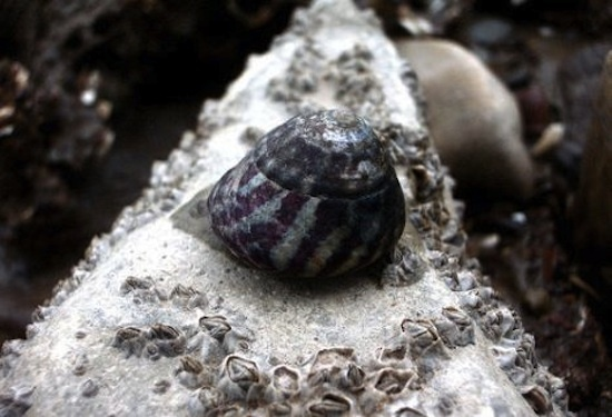 Believed to be one of the first extinctions caused by global warming, the purple Aladabra Banded Snail is native to the Indian Oceans Seychelles Islands -- but hasnt been seen since 1997.
