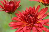 489134 - Chrysanthemum (Chrysanthemum indicum 'Granatschopf')