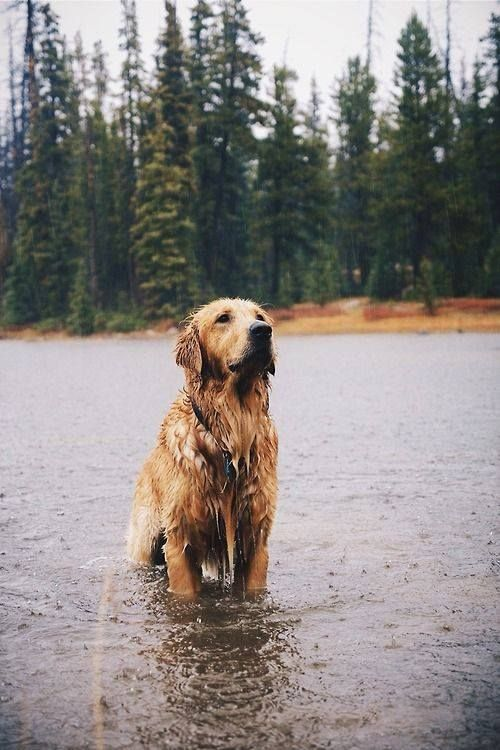 omg!!!!!!!!! so tumblr!!!!!!!!!! no but seriously, this dog is adorable. ==>http://www.amazingdogtales.com/gifts-for-golden-retriever-lovers/ #GoldenRetriever