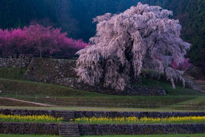 Beautiful Cherry Blossoms Photos In 2021 Cherry Blossom Cherry Blossom Japan Blossom Trees
