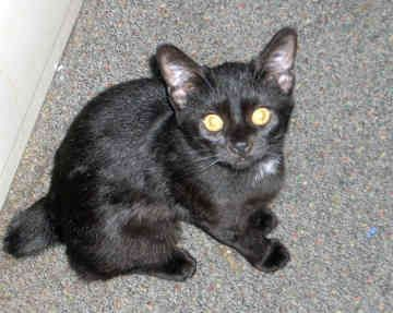 manx cats | Manx Kittens For Sale