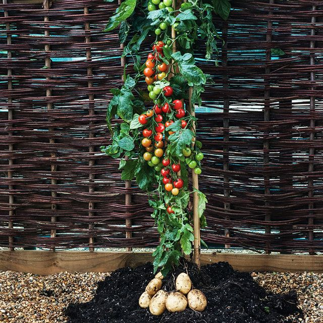 Meet The TomTato, The World's First Combination Tomato-Potato Plant | Co.Exist | ideas + impact