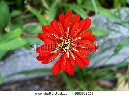 Red and Yellow Zinnia Flower with green blur background