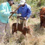 Gelykwater Bonsmara - 'n Kalfie word gebore -  - http://gelykwater.co.za/?p=4363