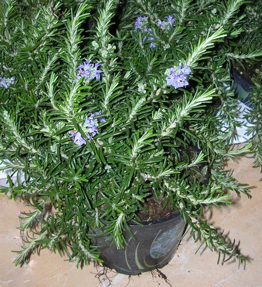 фото пряное растение Розмарин ампельный Rivera