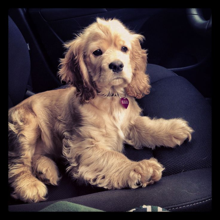 American Cocker Spaniel Puppy! - Tap the pin for the most adorable pawtastic fur baby apparel! You'll love the dog clothes and cat clothes! <3