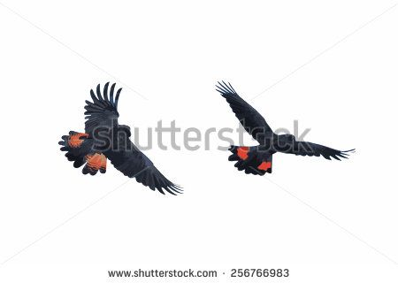 Illustration Banks' Black Cockatoo (Red-Tailed Cockatoo) in flight