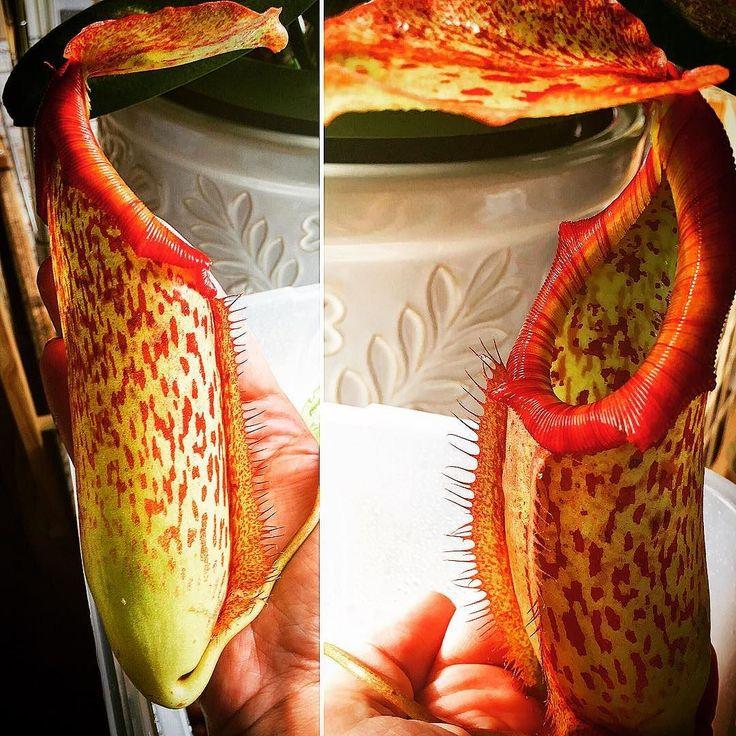 Nepenthes miranda #nepenthes #carnivorousplant #carnivorousplants #carnivorousplantsofinstagram #carnivorousplantnerds #carnivorousplantscollection #nepenthes_miranda by arsgratiacultus