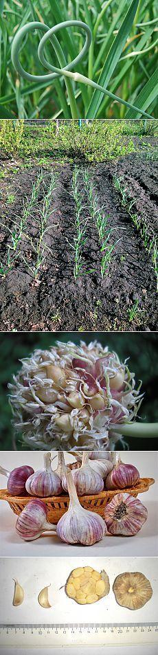 Любите ли вы чеснок?Посадка,размножение,уход,сбор,сорта. Чеснок — луковичное растение, луковица состоит из зубчиков (долек). Листья плоские. У чеснока есть как острые, так и сладкие сорта. Сладкие сорта не имеют привычной для нас жгучести и обладают тонким ароматом.