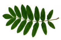 Blatt von Sorbus aucuparia Eberesche