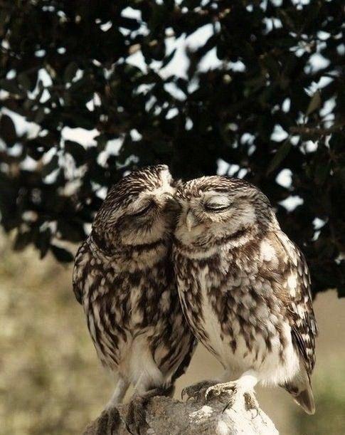 kissing owls by Eva0707