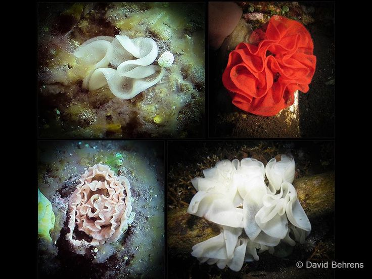 #Nudibranch eggs are as diverse as the adults in size, color and shape. Some egg masses, like the adults, advertise their toxic nature by their bright, aposematic colors.  *Nudibranch eggs are laid in coils, spirals, and zig-zags. Bright colors warn predators that the eggs are poisonous.  #MarchOfTheNudis #diving #Lembeh #Underwaterphotography