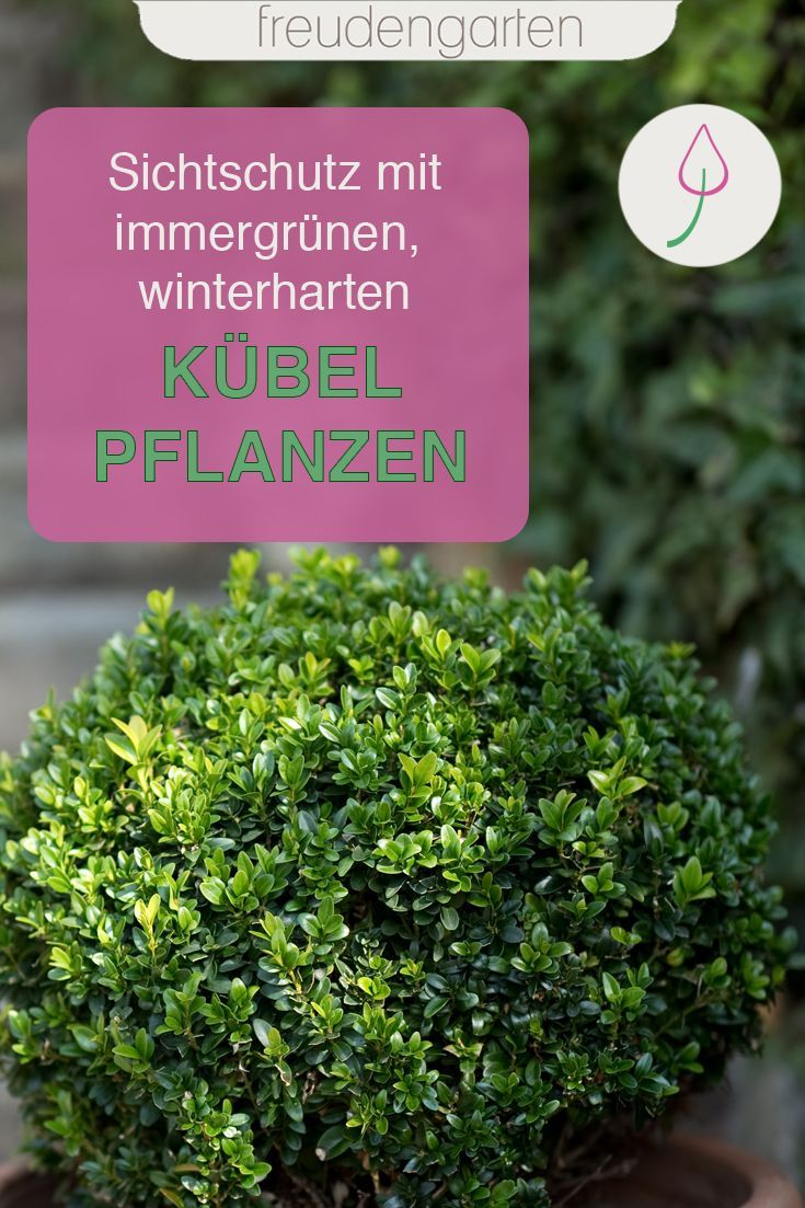 Immergrune Kubelpflanzen Pflanzen Kubelpflanzen Winterharte