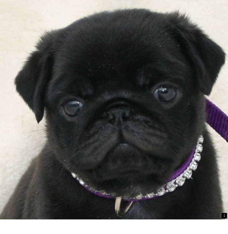 Look At The Webpage To Read More About Pug Puppies For Adoption