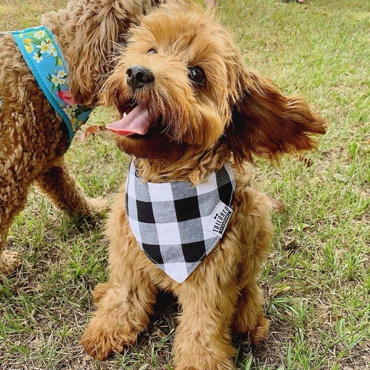 Pin By J I P On P U P I E E Pet Accessories Cavapoo Aussie Dogs