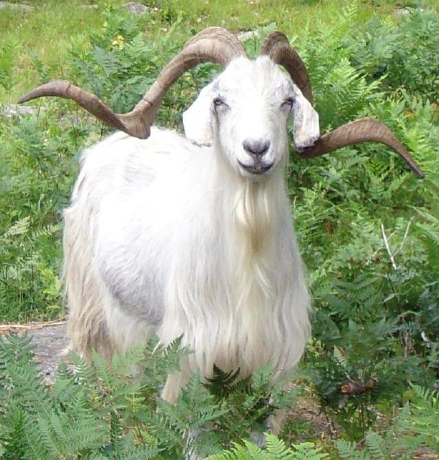 1000 images about cashmere goats on pinterest baby. Black Bedroom Furniture Sets. Home Design Ideas