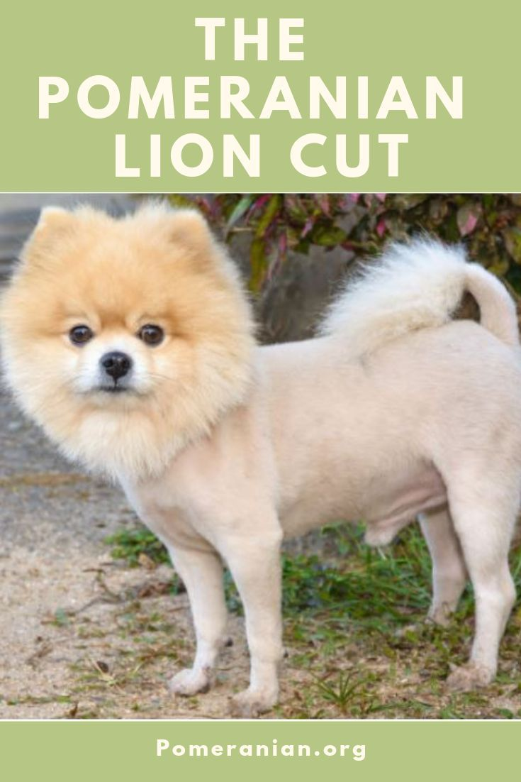 Pomeranian Haircut styles pictures. Haircuts for Pomeranian dogs