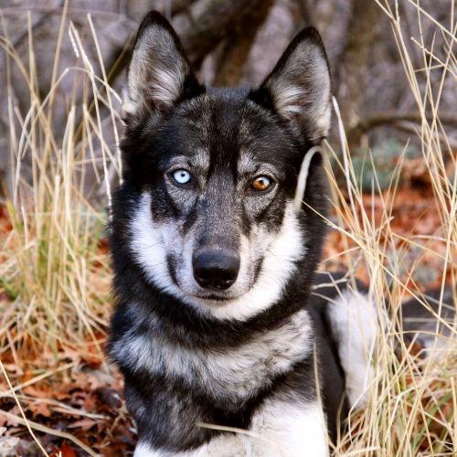 Hiili - Siberian Husky - Adult - Female - Arctic Breeds Rescue - Provo, UT. - http://www.arcticrescue.com/adopt-a-dog/item/43-hiili - https://www.facebook.com/arcticrescue - https://www.petfinder.com/petdetail/31071004/