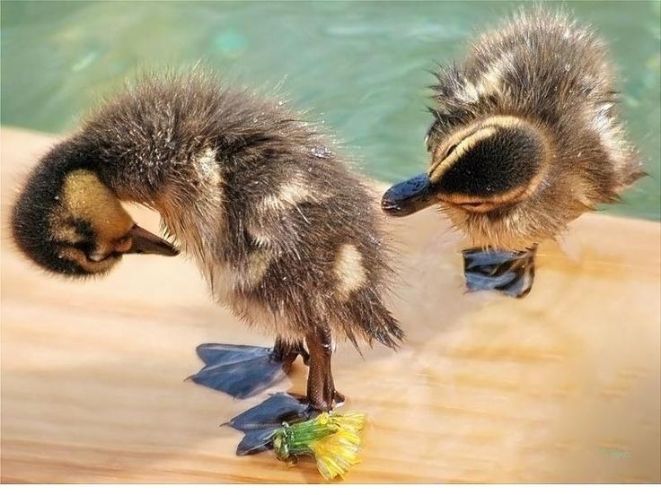 cool funny ducks