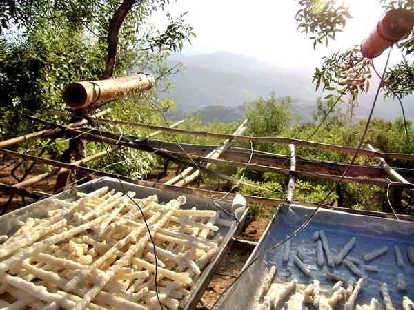 Manna drying under the ash trees. Madonie, Sicily http://homemadesicily.com/en/the-madonie/manna-the-madonie-white-gold/