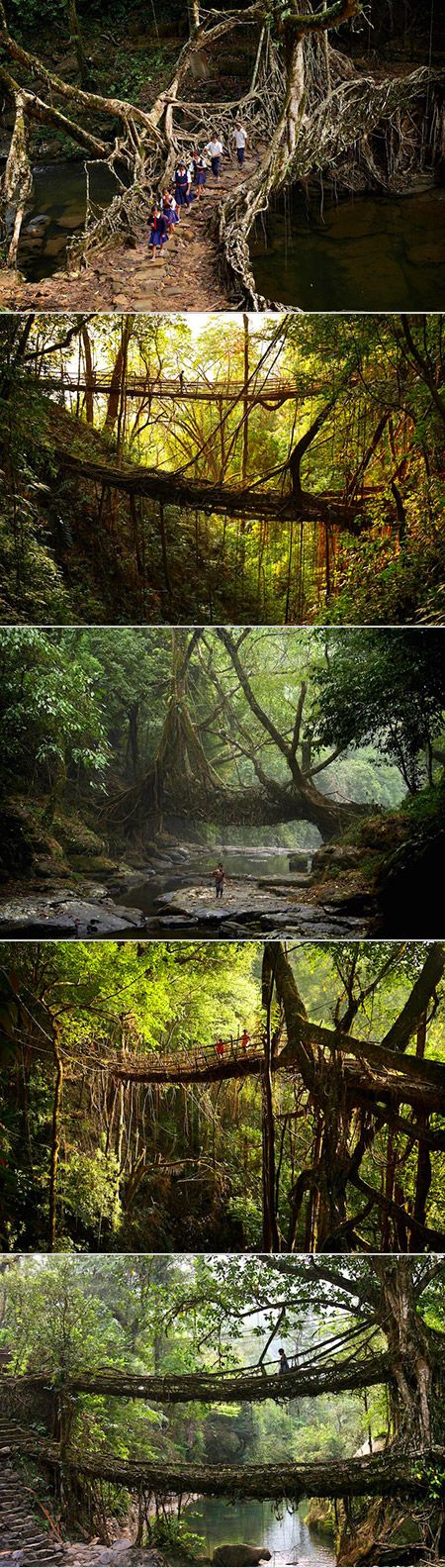 Mawsynram in Meghalaya, India  Living tree root bridges! All made by hand and passed through the generations by word of mouth!Amazing!
