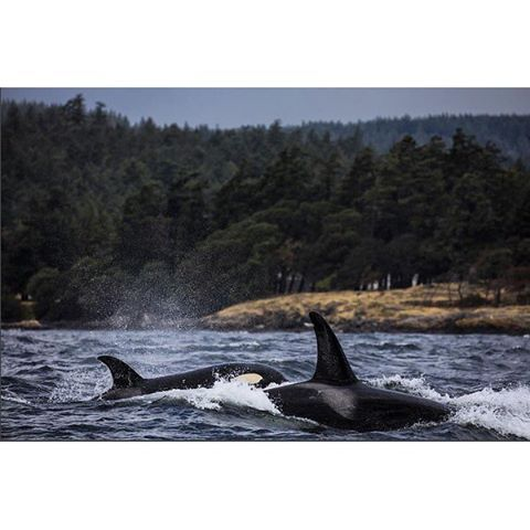 Meet a couple of BC locals - Orcas playing off of the coast of Sooke on Vancouver Island.   (photo: @seanscottphotography via Instagram) #exploreBC