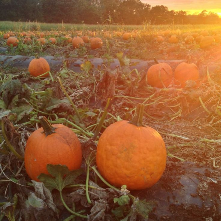 Good afternoon folks. Just wanted to type a quick note to let you know that the corn maze and outside stuff will be closed today due to rain. (Today is Thursday October 10, 2013) However the Farm Store will be open till seven this evening. I apologize… But we simply haven't found a good way to control the weather yet. :)