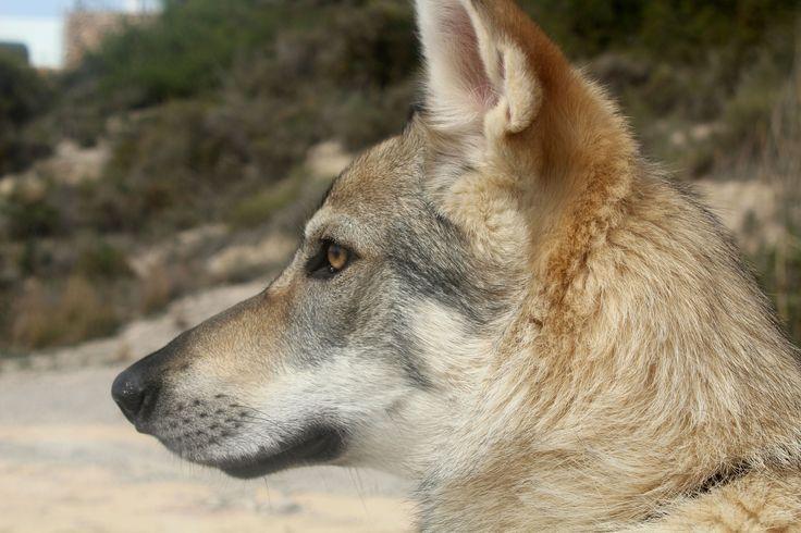 my own wolfdog Elsa (by Rhilien)
