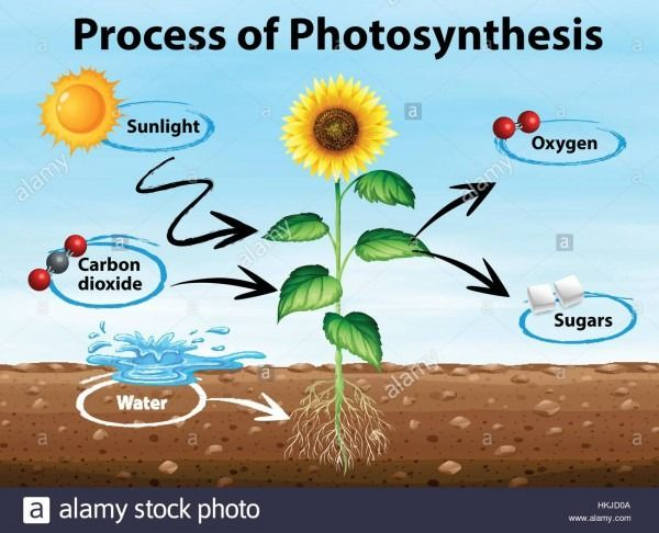 Diagram Of Process Of Photosynthesis Photosynthesis And Cellular Respiration Photosynthesis Photosynthesis Activities