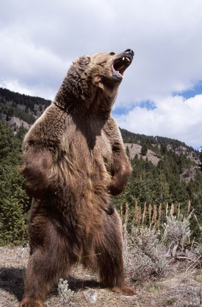 Grizzly Bear Standing Up And Roaring