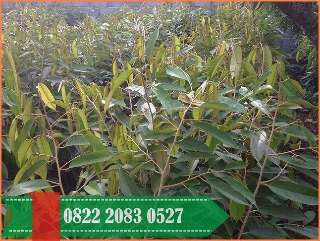 Kebun Durian Musang King Di Bogor