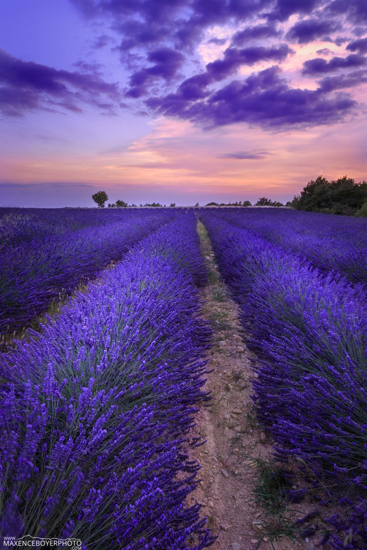 Lavande - Valensole - Provence - France - More exclusive photos : www.maxenceboyerphoto.com Merci pour les vues, favoris et commentaires, ils font très plaisir. Bonne semaine à vous :) Thanks all for the views, favs and comments, very appreciated. Have a nice week :)