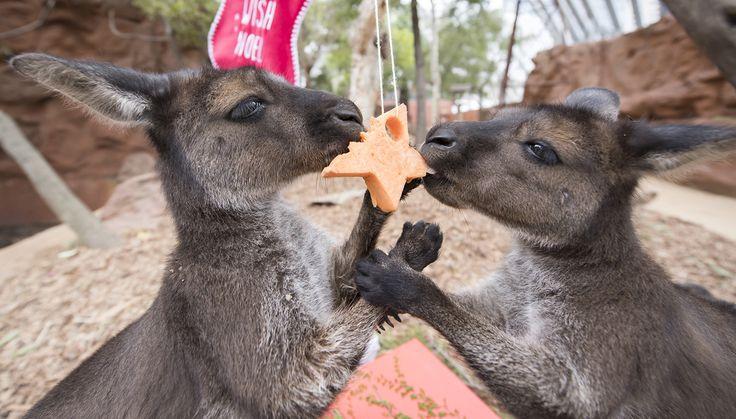 Kangaroo joeys Dot and Matilda enjoying some Christmas treats at Wild Life Sydney Zoo on December 23, 2016.