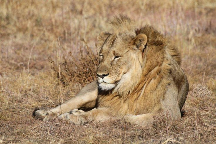 African lion - photo by Rika
