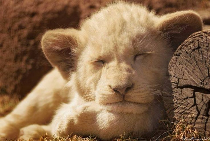 baby lion cub goin sleep