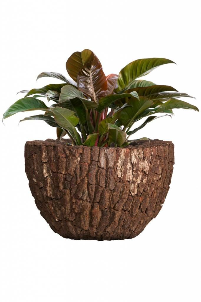 Planters for life Bowl Pine Bark - Philodendron Imperial Red