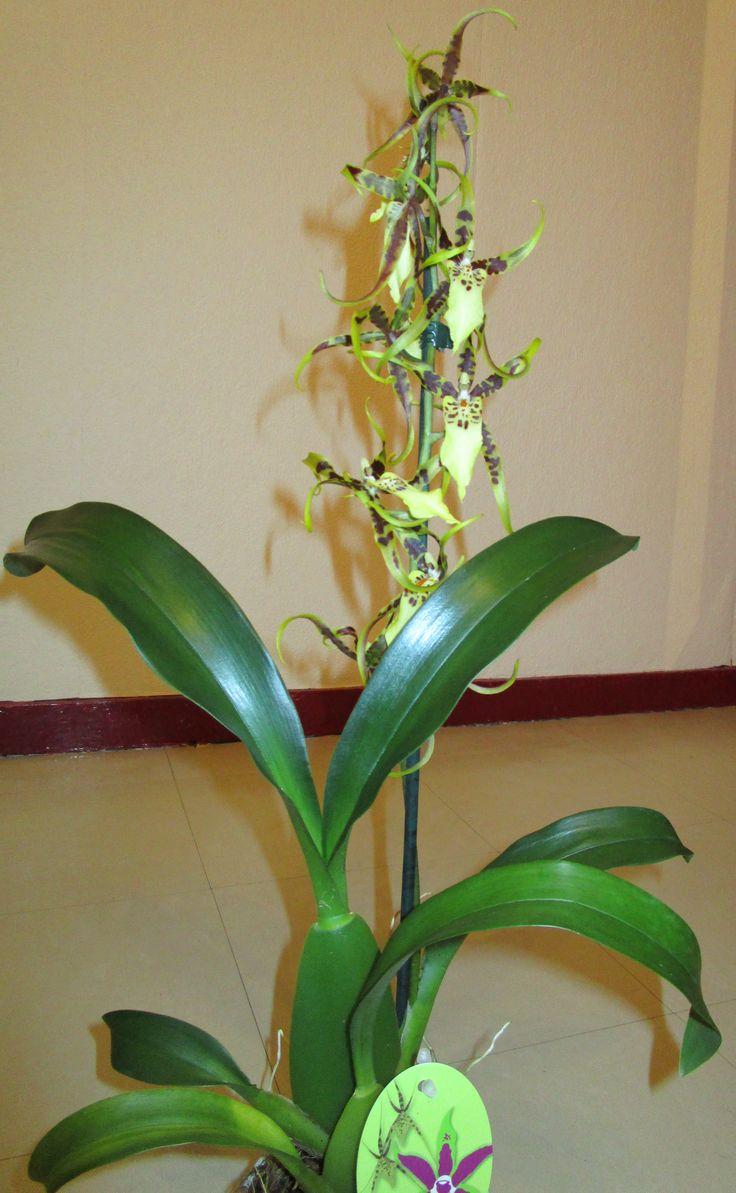 brassia (orchidée araignée)
